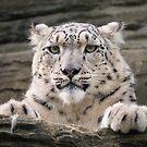 Snow leopard (Panthera uncia) by Steve  Liptrot