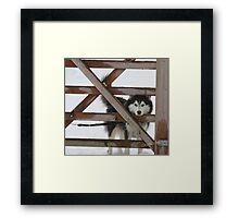 Snowy Husky Framed Print