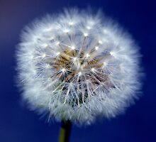 Dandelion (Cotton) by berndt2