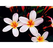 frangipani blossoms from home Photographic Print