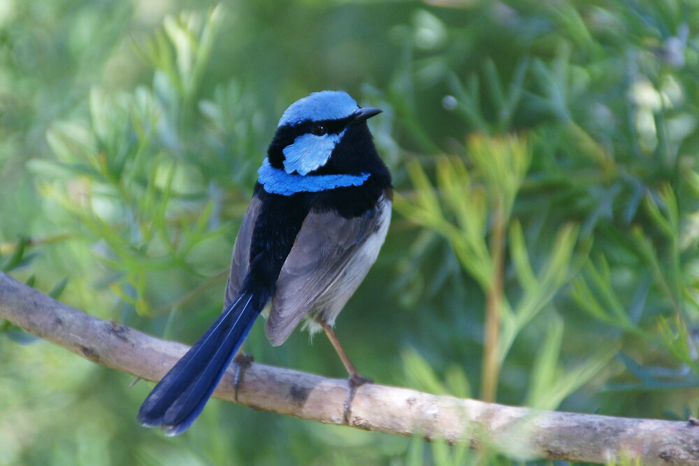 Superb Fairy-wren by roger smith