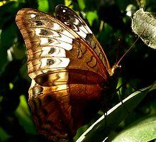 Backlit Butterfly by margotk