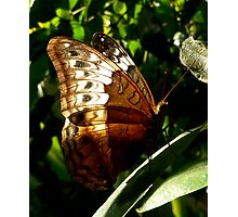 Backlit Butterfly Photographic Print
