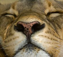 Sleeping Lioness by Gerry Van der Walt