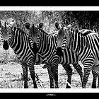 zebra by Oli Johnson