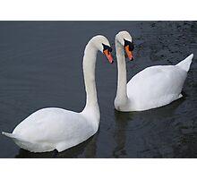 Swan Lovers Photographic Print