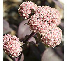 Black leaf Sedum Photographic Print