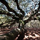 Angel Oak by barnsis