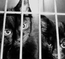 Convict Cats by Danielle Morin