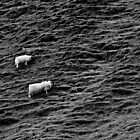 Scotland sheep BW by Jan Cervinka