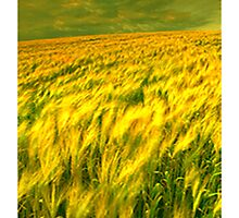 Field Of Barley by Madeline M  Allen