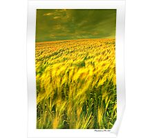 Field Of Barley Poster