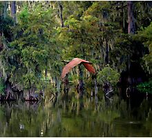 Roseate Spoonbill In Flight Photographic Print