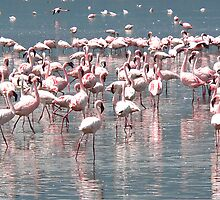 Flamingos by Robert Blamey