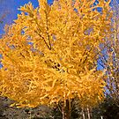 Yellow Tree in Fall by dbvirago