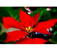 Poinsetta in Bloom Photographic Print