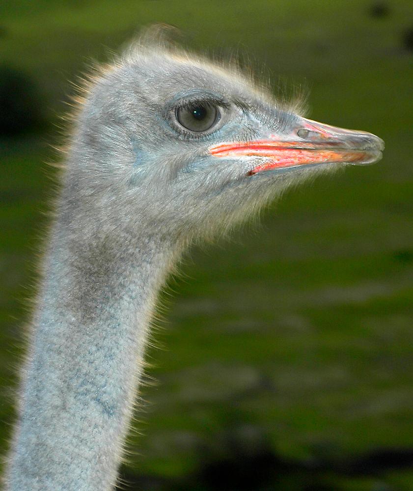 Ostrich by Eyal Nahmias