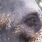 sri lankan temple elephant by Marie Tixier-Brennan