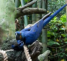 Blue Macaw Tussle by jenndes