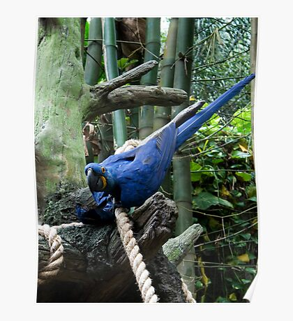 Blue Macaw Tussle Poster