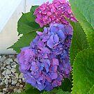 Pink and Purple Hydrangea on One Bush by Jane Neill-Hancock