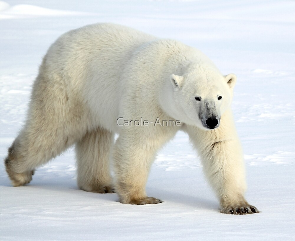 Large Male Polar Bear on the Tundra, Churchill, Canada  by Carole-Anne