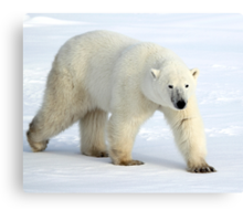 Large Male Polar Bear on the Tundra, Churchill, Canada  Canvas Print