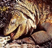 """Tastes Good !!"", Land Iguana, Galapagos  by Carole-Anne"