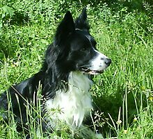 Jacks the beautiful border collie by manuman538