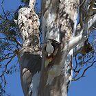 Gum Tree Hollow; Home For A Cockatoo by aussiebushstick