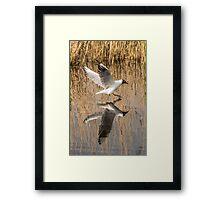 Black Headed Gull Mirror Image Framed Print