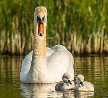 Wild Mute Swan with Cygnet's by Alec Owen-Evans