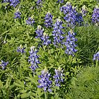 Bluebonnets by Joe Hewitt