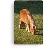 horse pony  in the farm Canvas Print