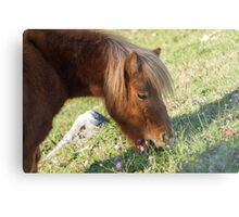 horse pony  in the farm Metal Print