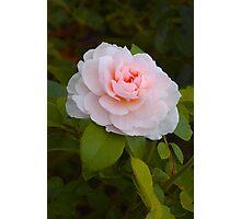 Shrub Rose 'Wildeve' Photographic Print