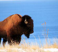 Island Buffalo by Gene Praag