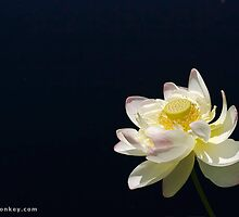 Open Water Lily by greeblemonkey