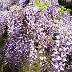 Wisteria - makes a pretty fence, Spring 2009 by EdsMum
