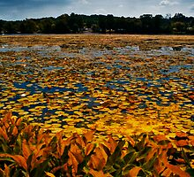 Gallup Park Golden Lillies by Murtasma