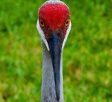 Sandhill Crane by eddytkirk
