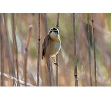 Reed Warbler Photographic Print