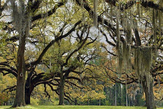 Oaks of St. Francisville by Bonnie T.  Barry
