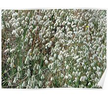 Bunny Tails Grass Poster