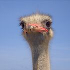 Ostrich by douwe