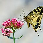 Swallowtail butterfly, Castiglioncello del Trinoro, Tuscany, Italy by Andrew Jones