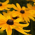 Black Eyed Susan by Norbert Rehm