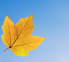 Yellow Maple Leaf in Fall by Norbert Rehm