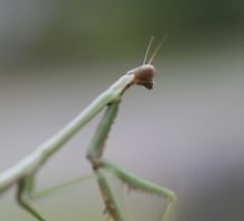 Praying mantis by lifeinpixels
