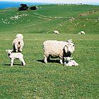 Sheep, Sheep and More Sheep... by Allison Lane